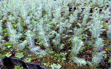 Выращивание голубой ели из семян: практические советы