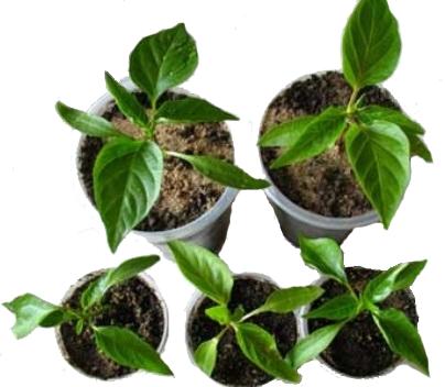 Выращивание рассады перца в домашних условиях: пикировка и уход за рассадой