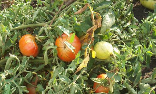 С вашими помидорами что-то не так? Возможно, это грибок
