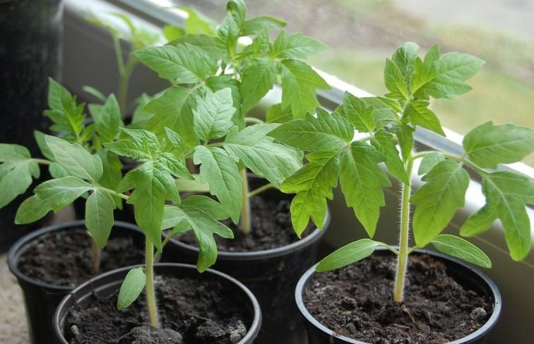 Выращивание помидор без пикировки